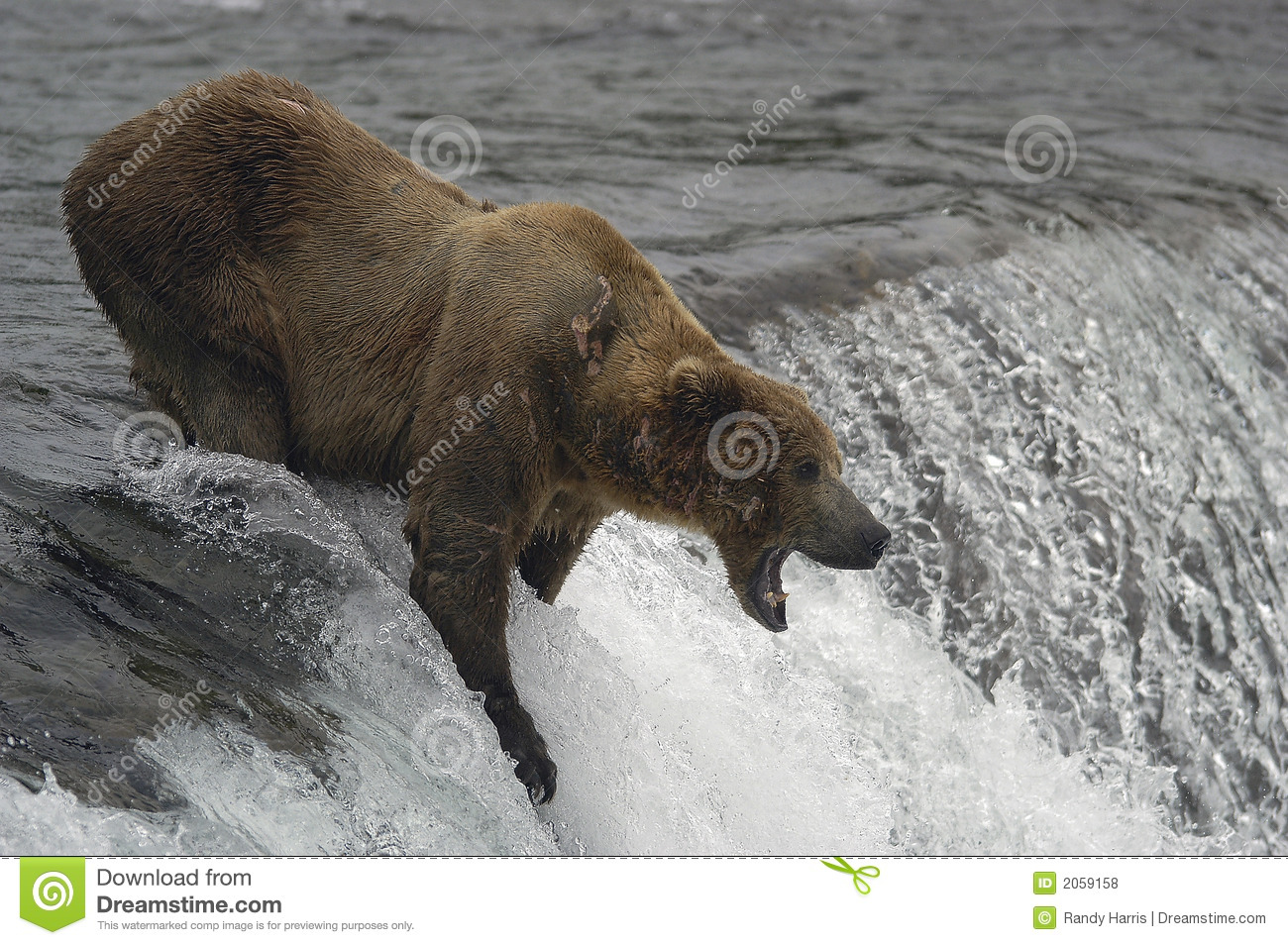 Brown bear catching fish stock photo image of salmon for Bear catching fish