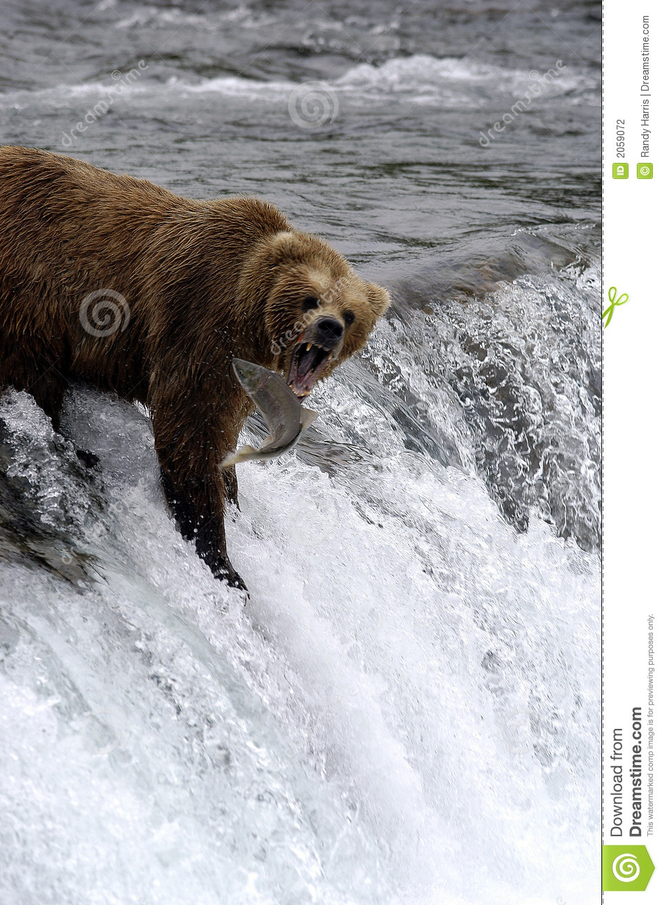 Brown bear catching salmon stock photo image of adventure for Bear catching fish