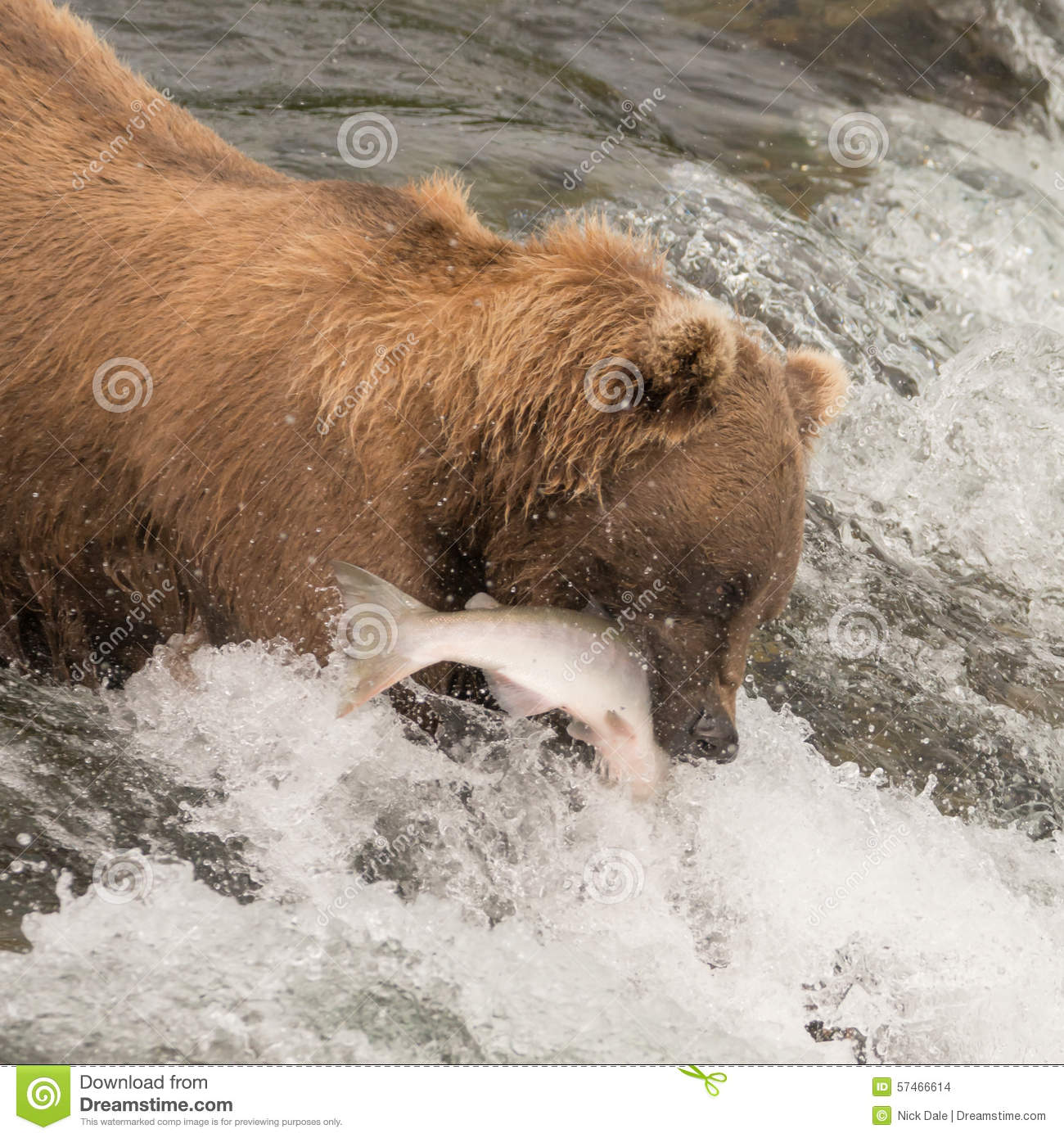 Brown bear catching salmon at brooks falls stock photo for Bear catching fish