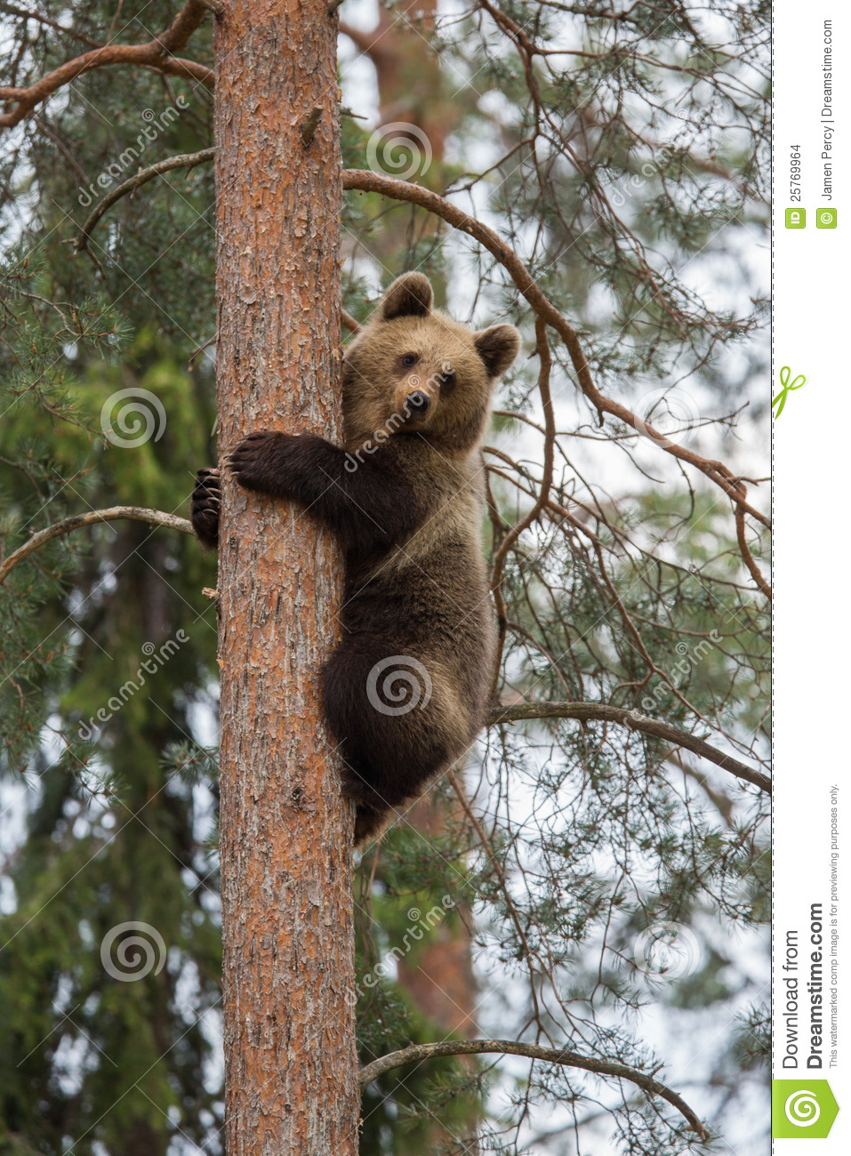 Brown Bear Climbing Tree In Forest Stock Images Image