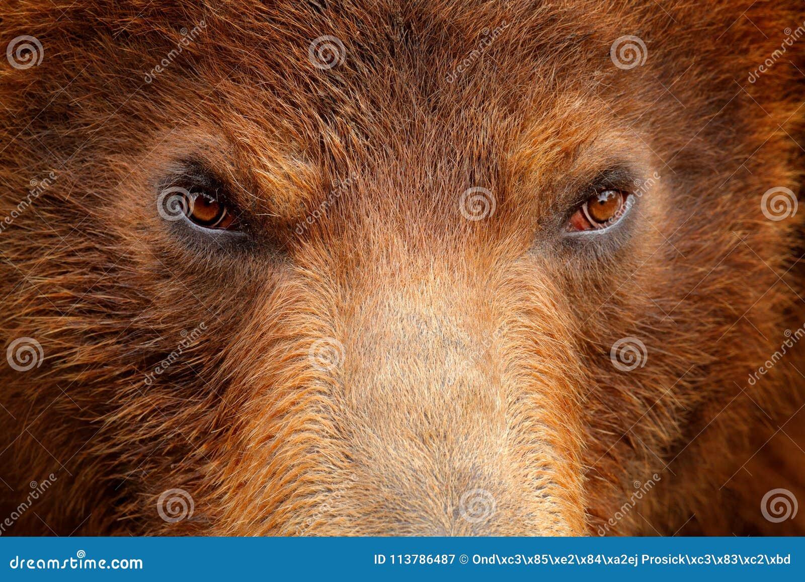 Brown bear, close-up detail eye portrait. Brown fur coat, danger animal. Wildlife nature. Fixed look, animal muzzle with eyes. Big