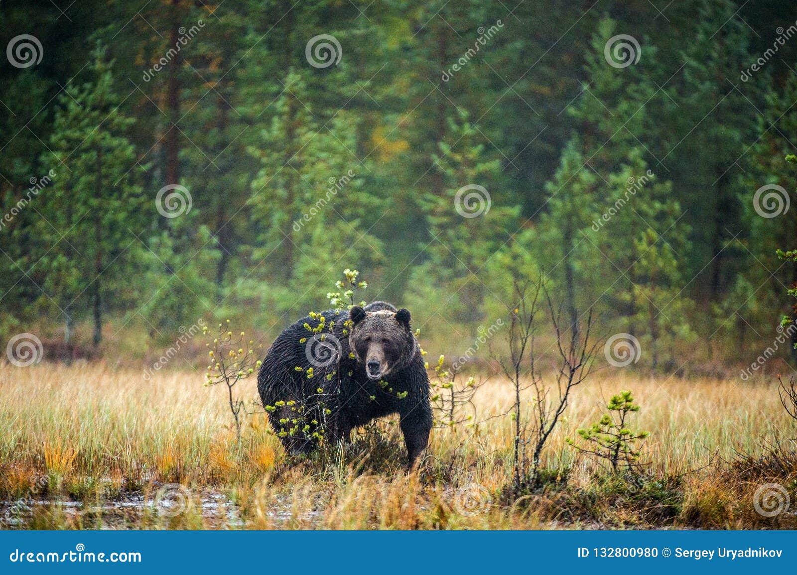 A brown bear in the fog on the bog. Adult Big Brown Bear Male. Scientific name: Ursus arctos.