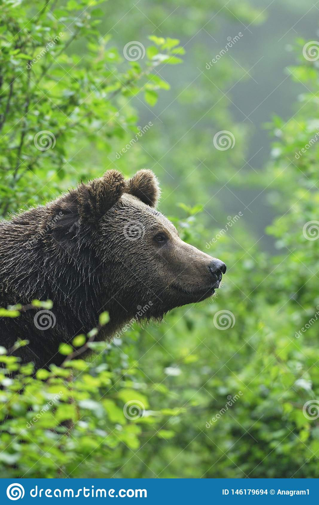 Brown Bear looking out of a bush