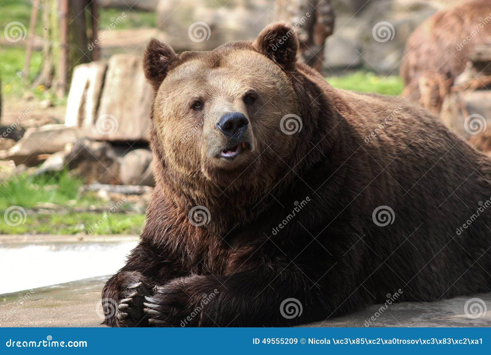 Beroun Czech Republic  city images : Brown bear lying down on a rock, Beroun, Czech Republic.