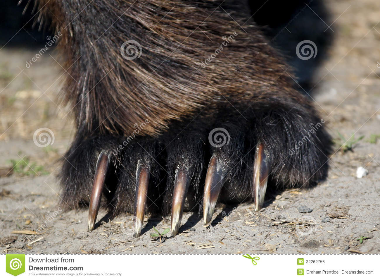 Brown Bear Paw / claws stock photo  Image of powerful - 32262756