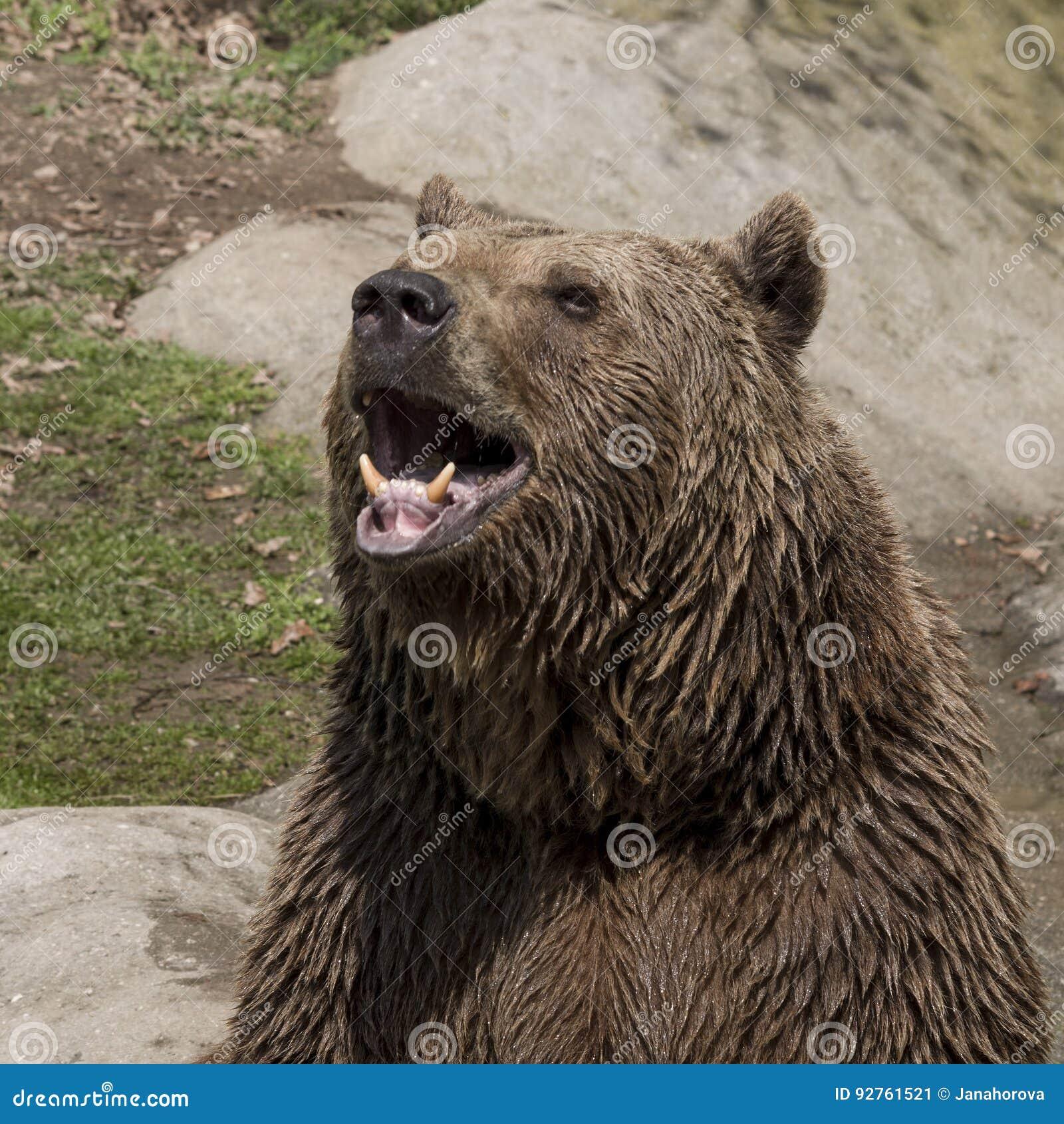 Brown bear roar