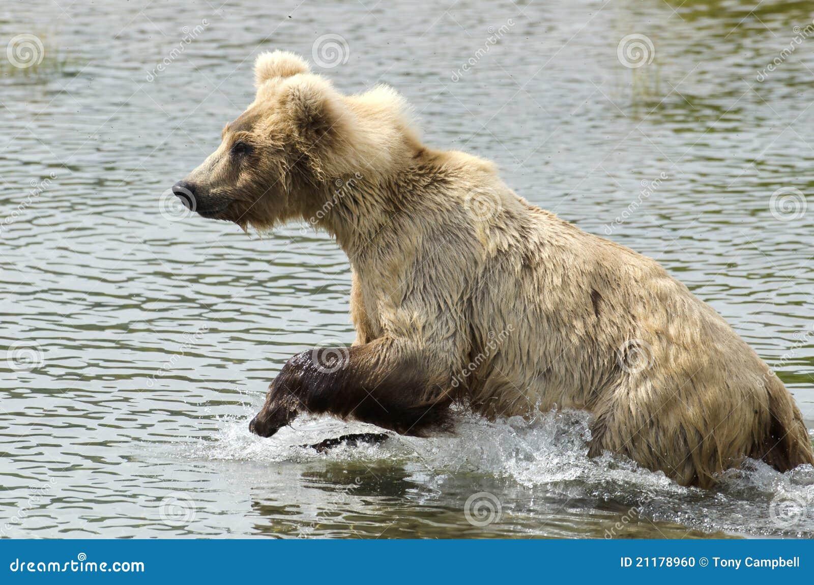 Brown bear running in water