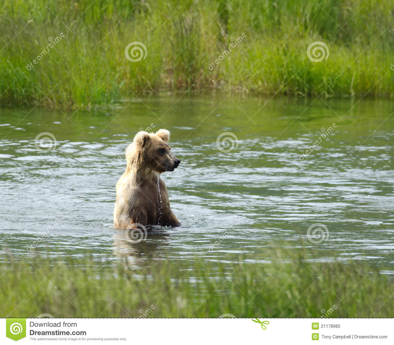 Brown bear searching for salmon