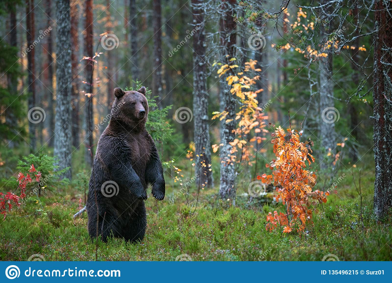 Brown bear standing on his hind legs in the autumn forest.
