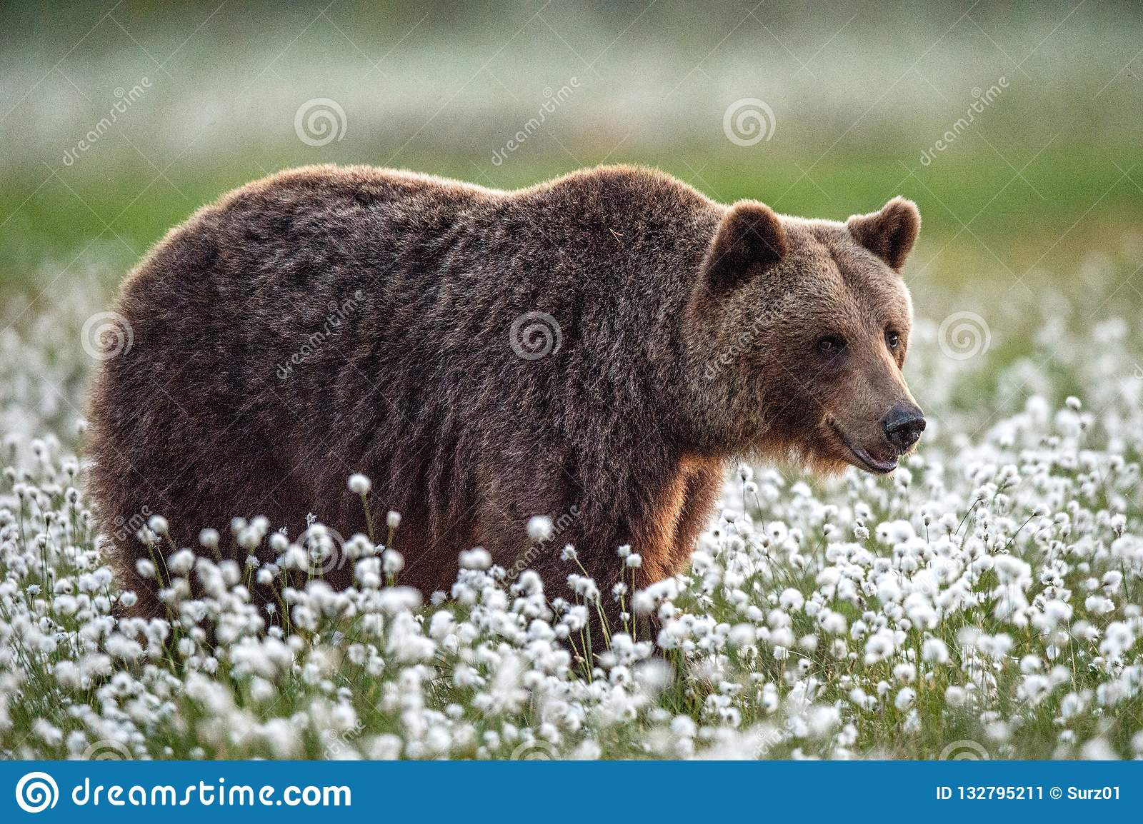 Brown bear in the summer forest on the bog among white flowers.