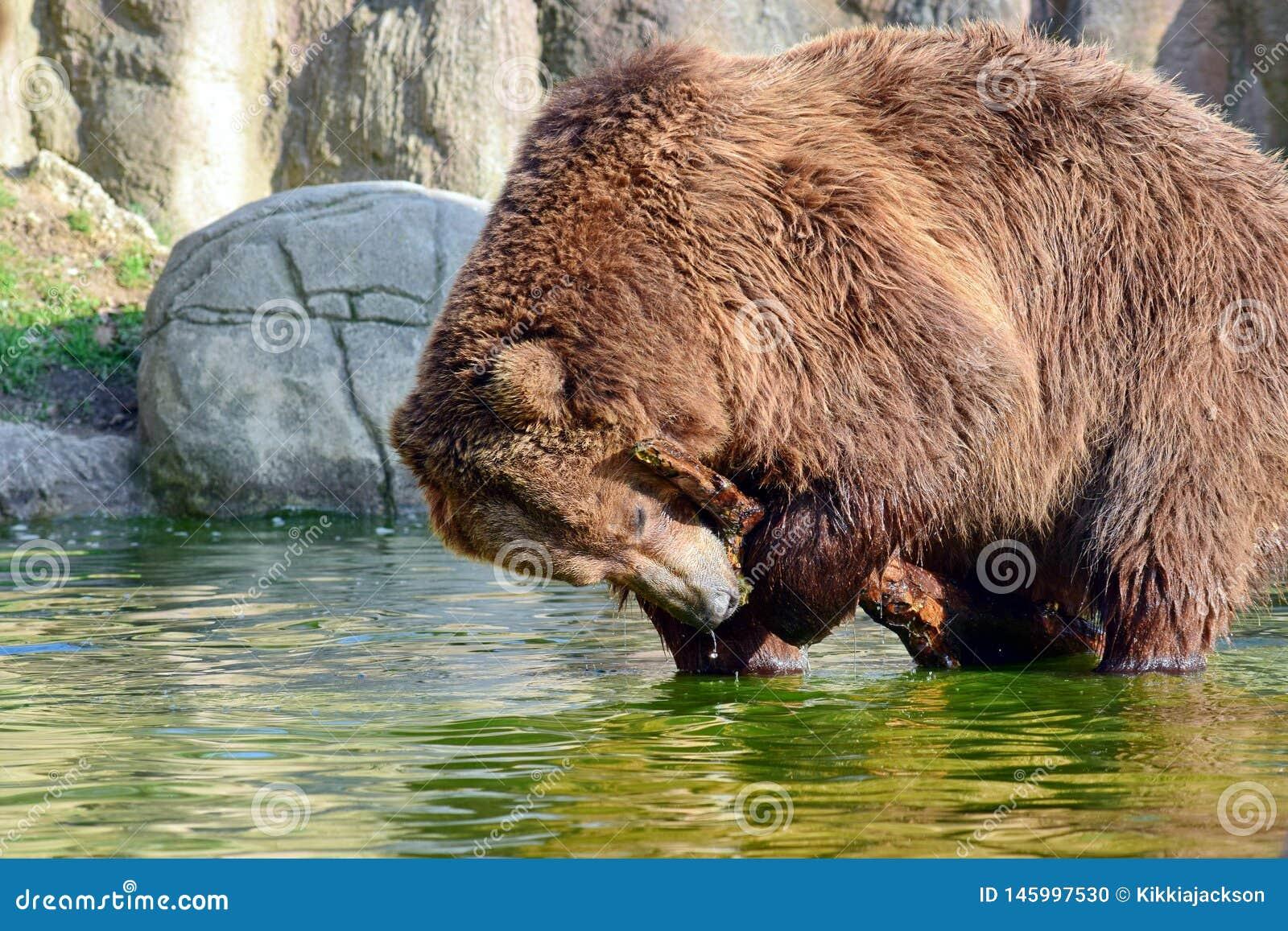 Brown Bear Ursus Arctos Beringianus Playing with Branxh in Water