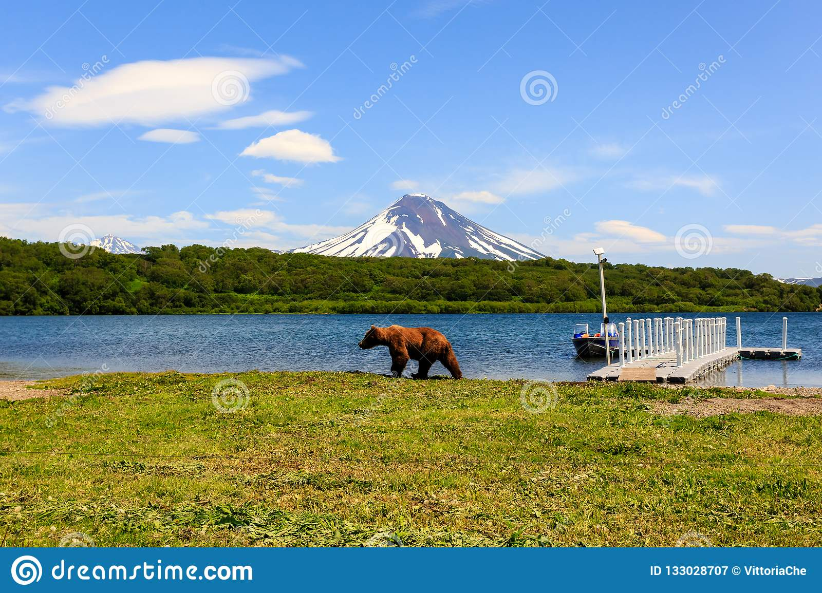 Brown bear Ursus arctos beringianus walking near Kurile Lake against the background of the volcano Ilyinsky . Kamchatka