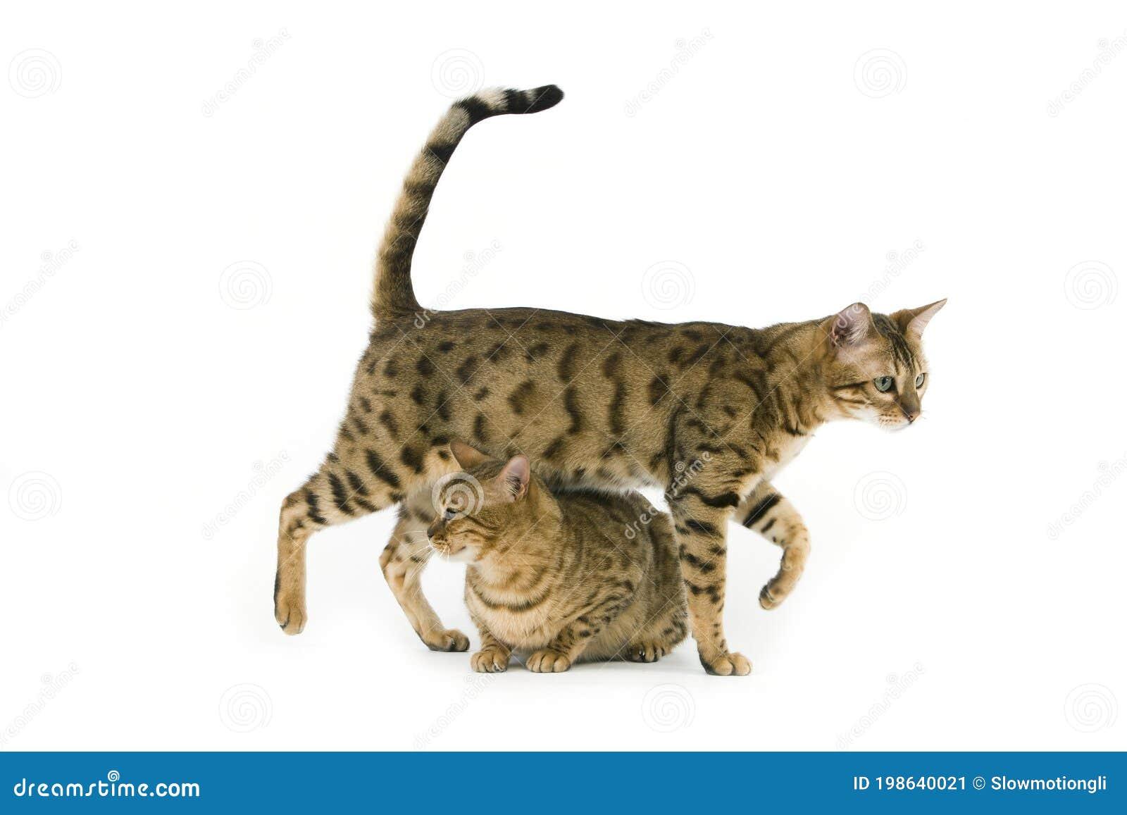 Stellung cat