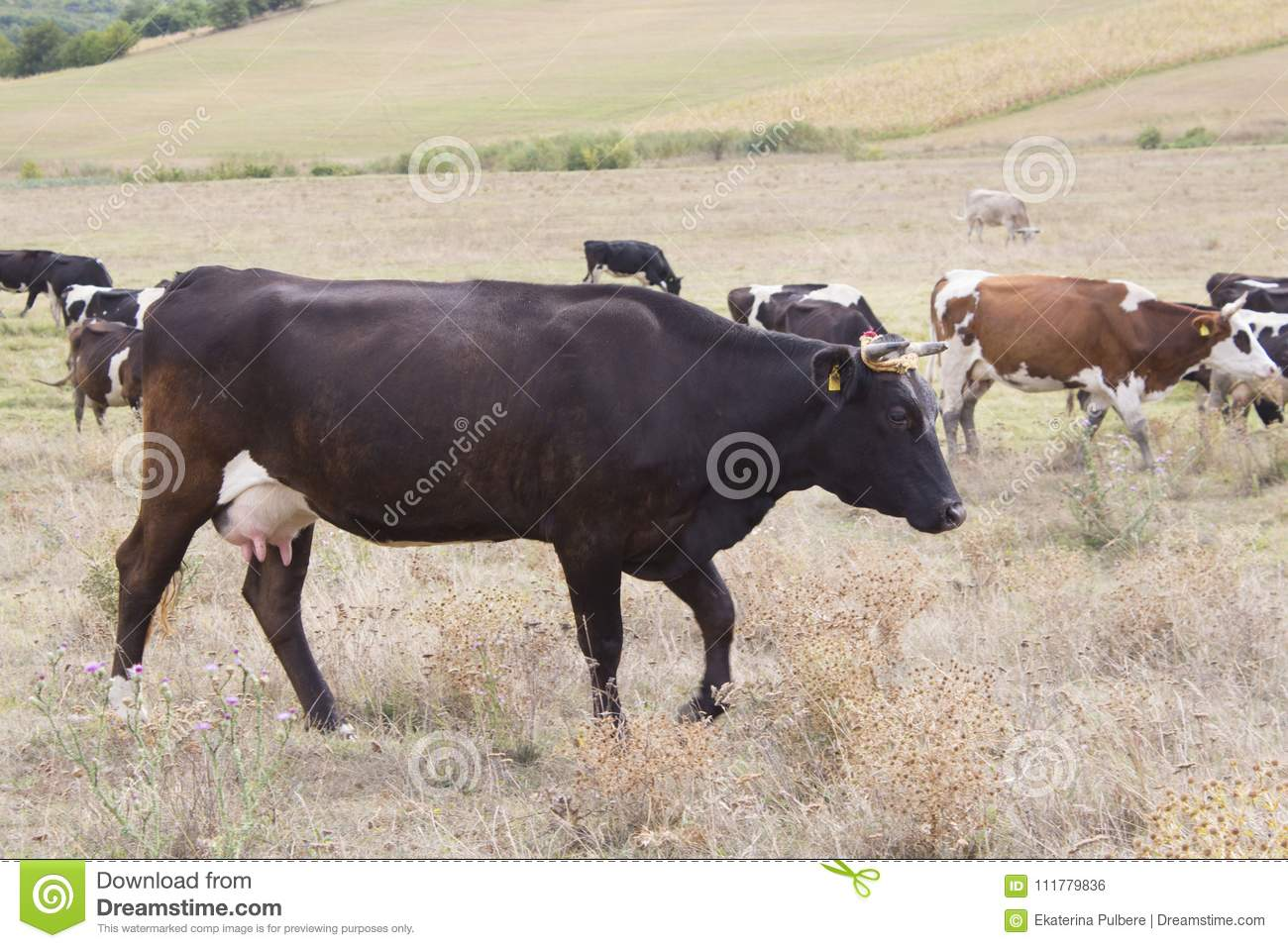 Brown and black cows grazing
