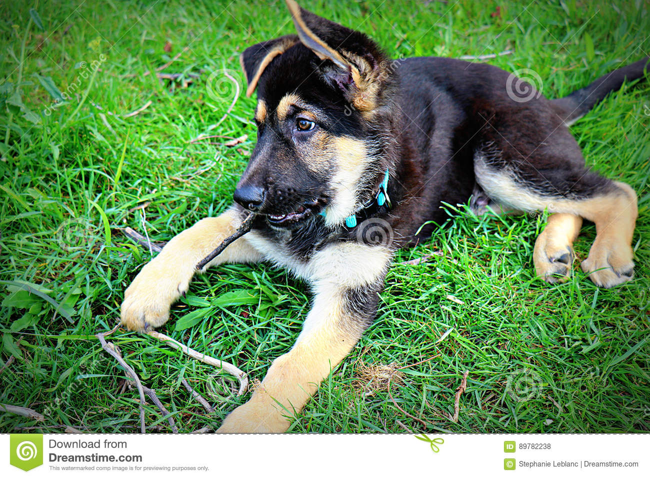 Brown And Black German Shepherd Puppy Chewing On Stick Stock Photo Image Of Grass Shepherd 89782238