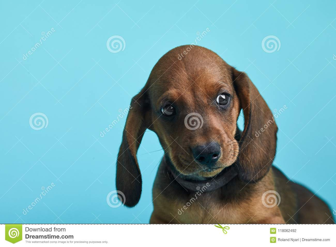 Brown And Black Little Dachshund In Front Of Blue Background. Stock ...