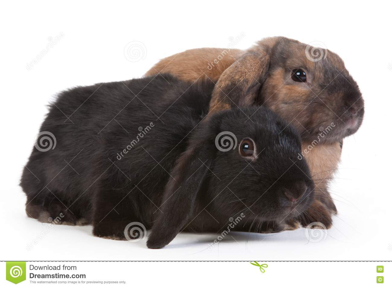 Brown And Black Lop Eared Rabbits Stock Photo Image Of