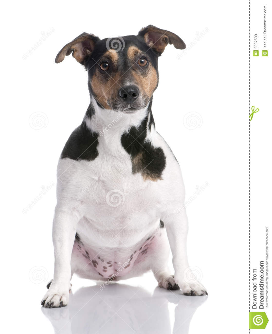 Brown, Black And White Jack Russell Sitting (2 Yea Royalty ... (1058 x 1300 Pixel)