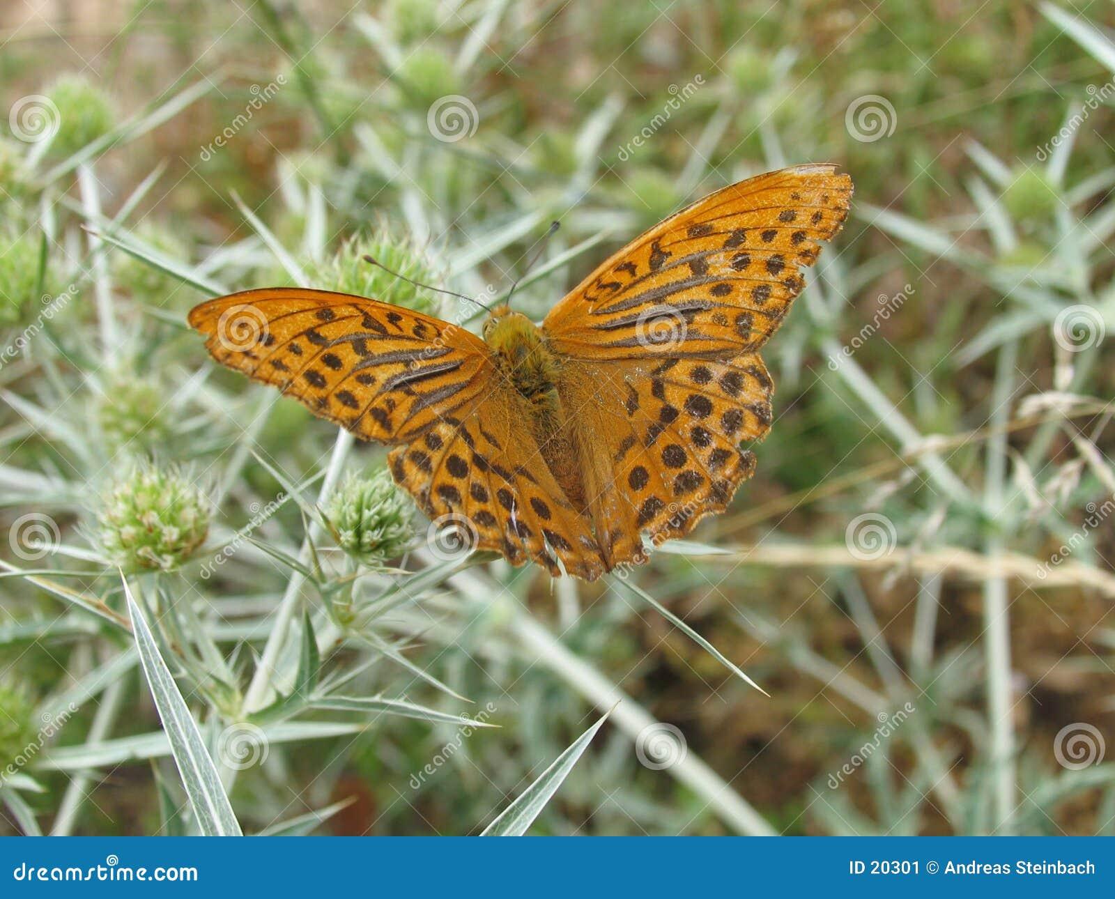 Brown/borboleta alaranjada no thistle