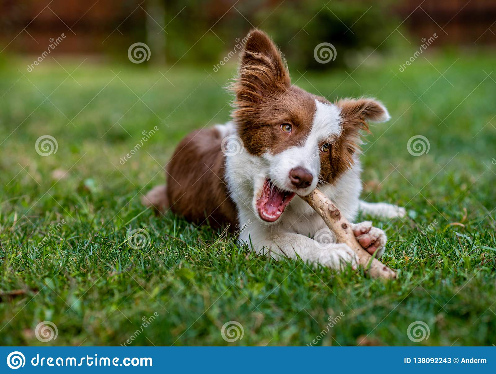 Brown border collie dog sitting on the ground