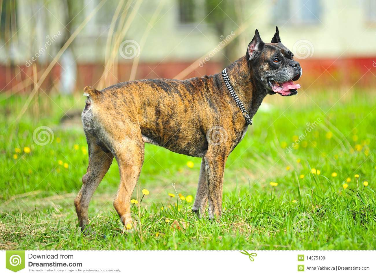 Light Brown Dog Stock Photos, Images, & Pictures – (2,401 Images)