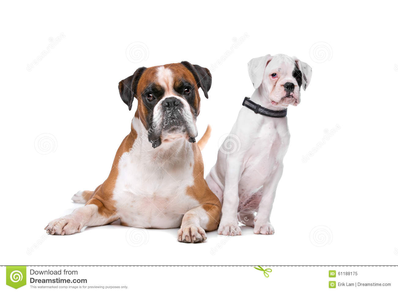 Brown Boxer Dog And A Boxer Puppy Stock Image - Image ...