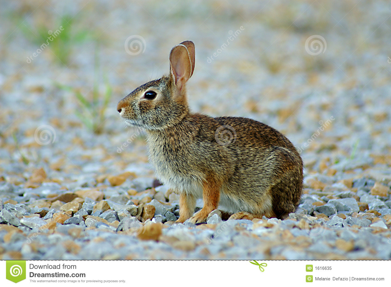 Royalty Free Stock Photo: Brown bunny: dreamstime.com/royalty-free-stock-photo-brown-bunny-image1616635