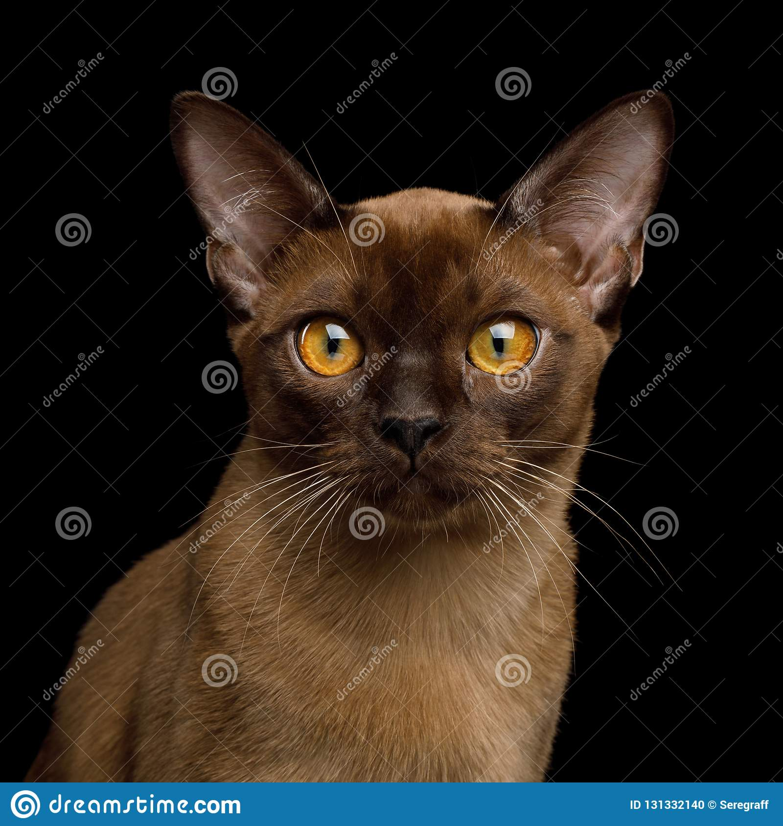 Brown burma cat isolated on black background