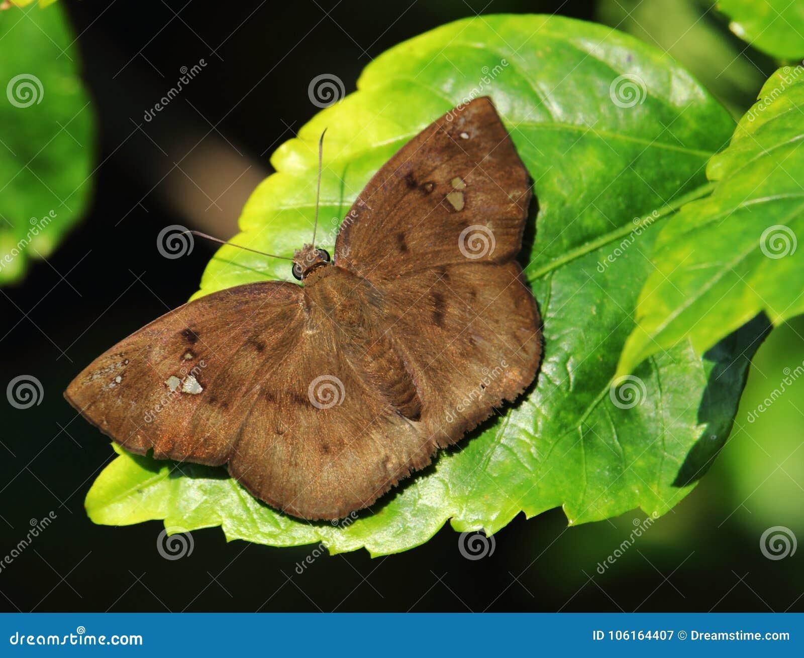 A brown butterfly sunbathing