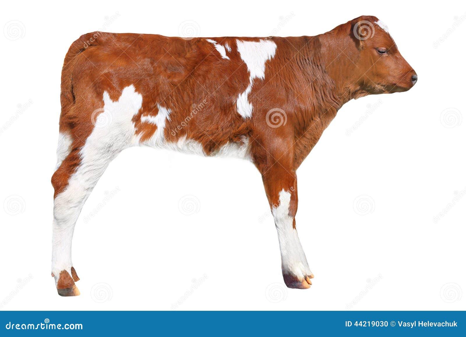 Brown Calf Stock Photo - Image: 44219030