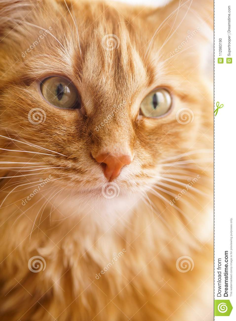 Brown Cat, Red Male Cat, Ginger Cat
