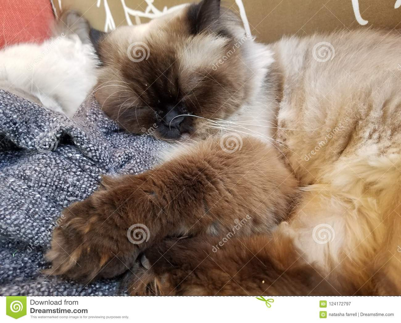 Himilayan cat