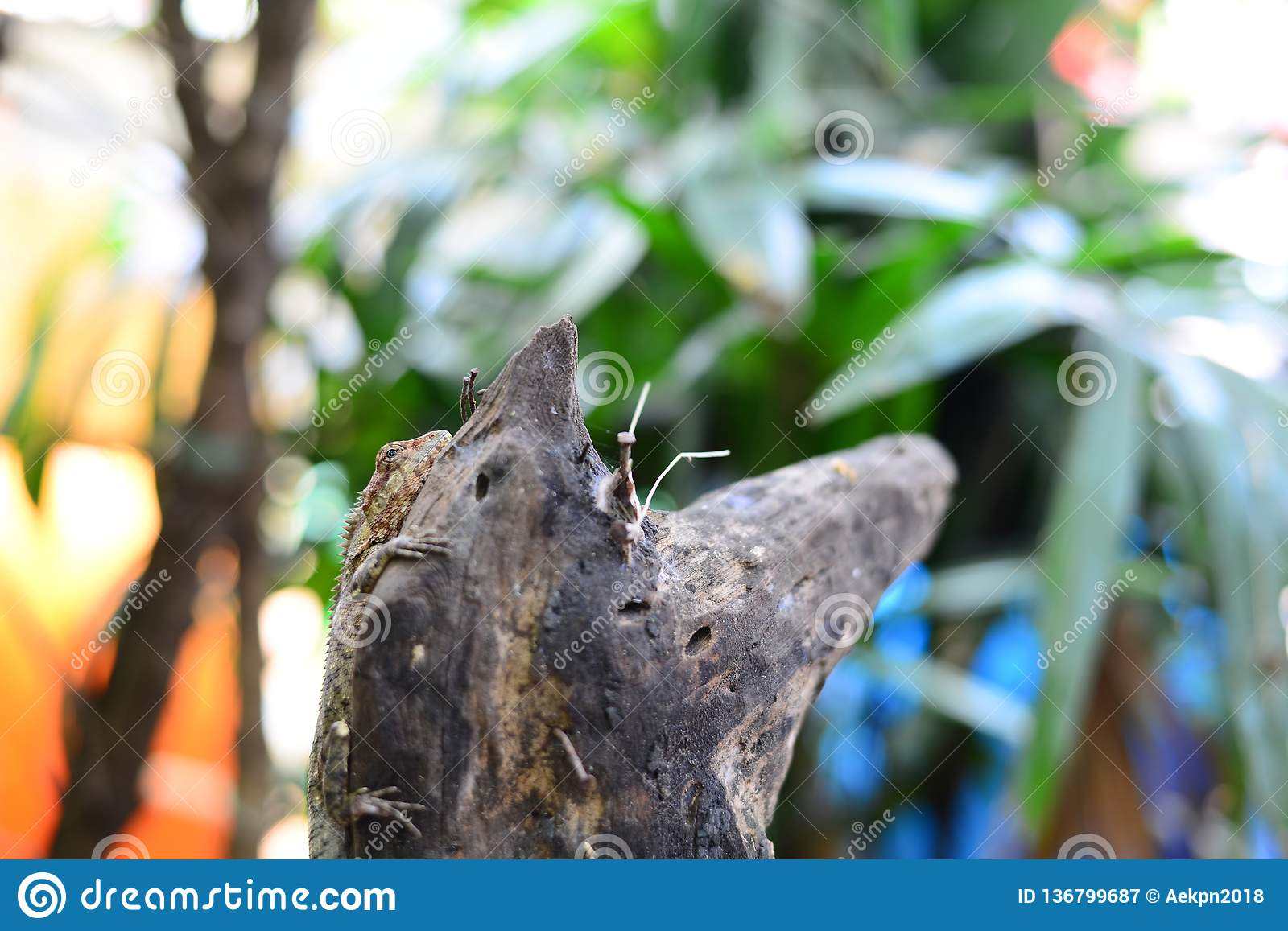 The Brown Chameleon resting on the wooden log