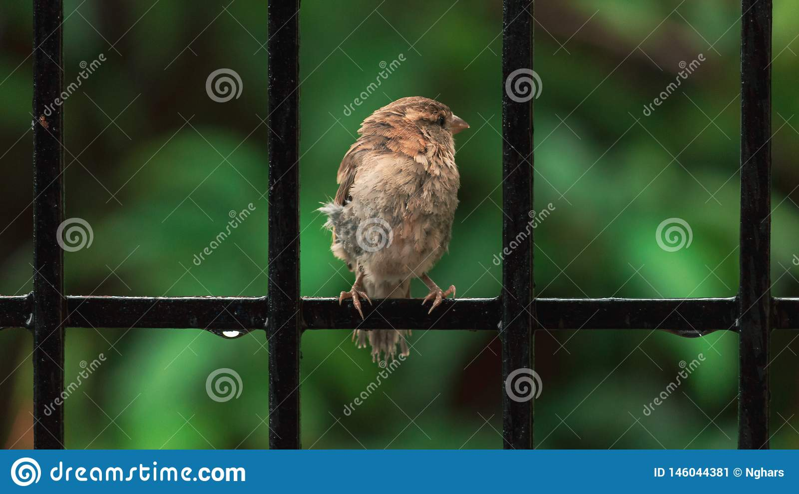 Brown Chested Sparrow