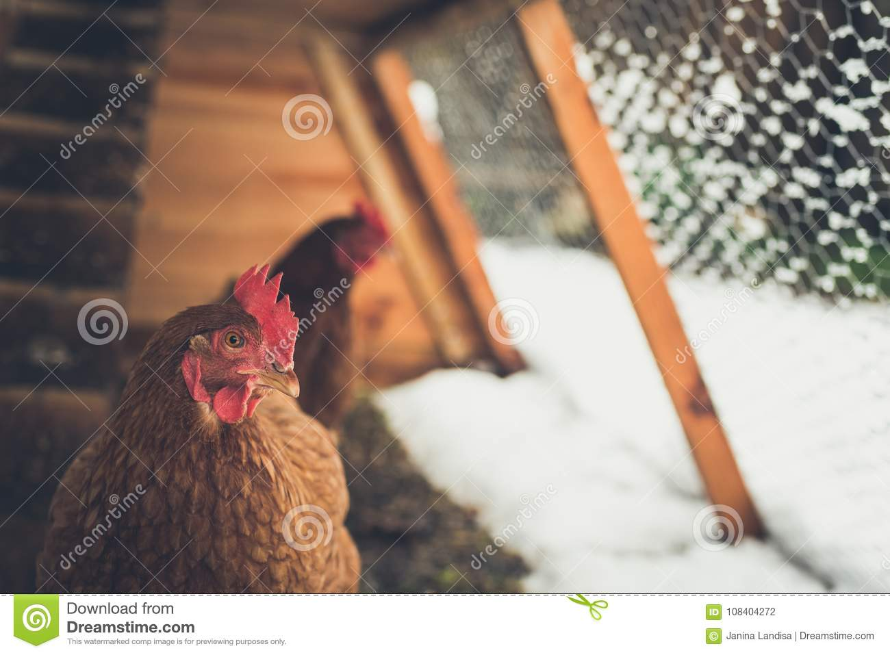 Brown chickens in home made chicken coup at the rural backyard,