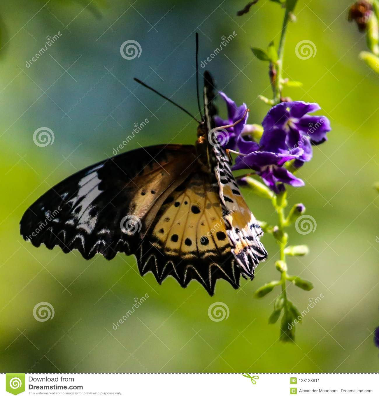 Brown Clipper butterfly on a purple flower