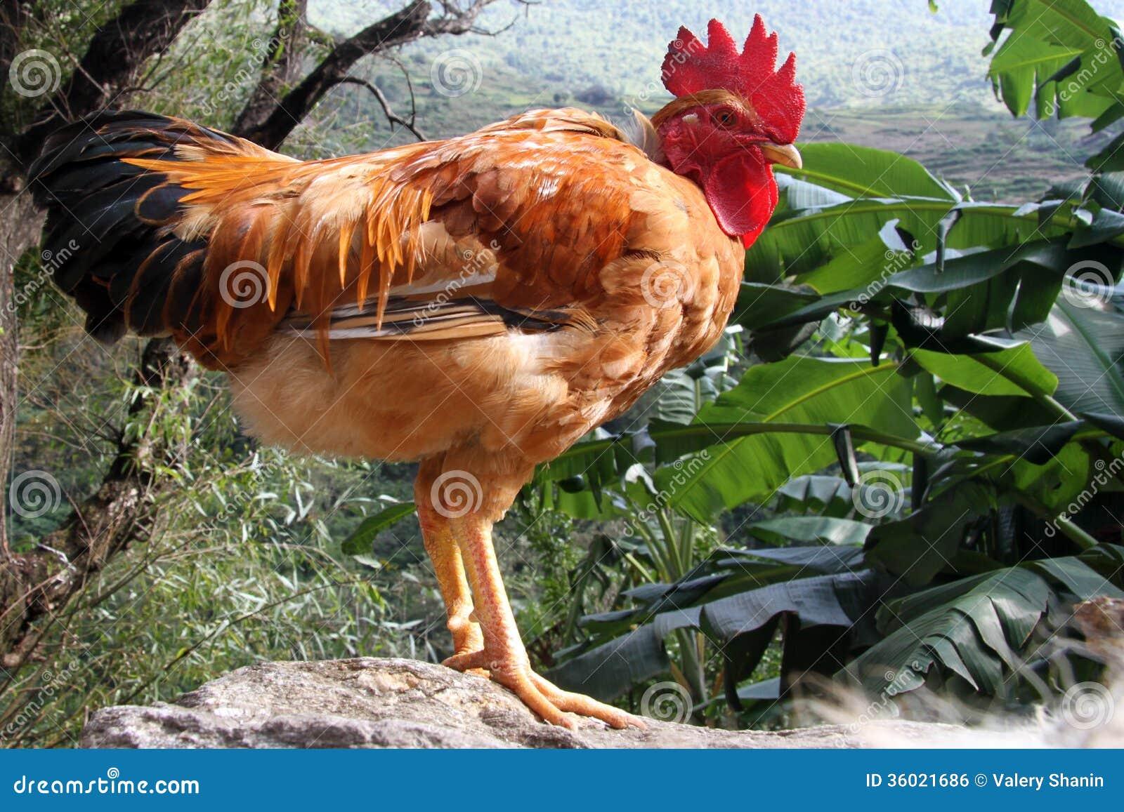Big brown cocks