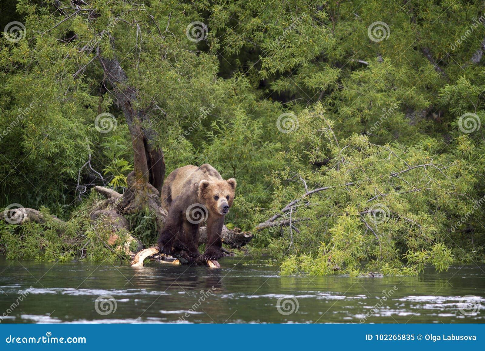 Brown concernent le rivage du lac La Russie, Kamchatka