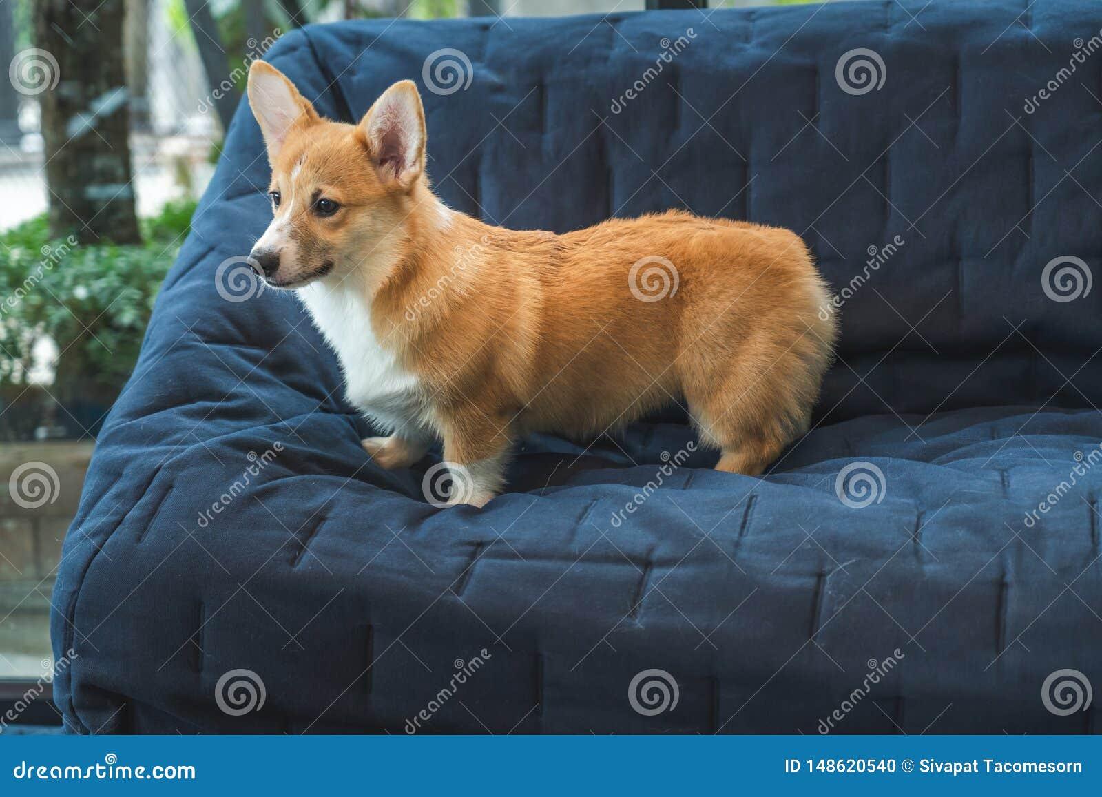 Brown-Corgihund