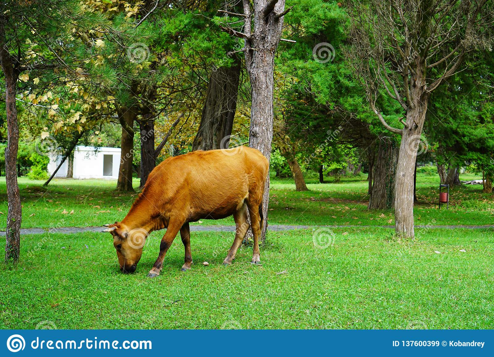 Brown cow eats grass in the Park in the summer