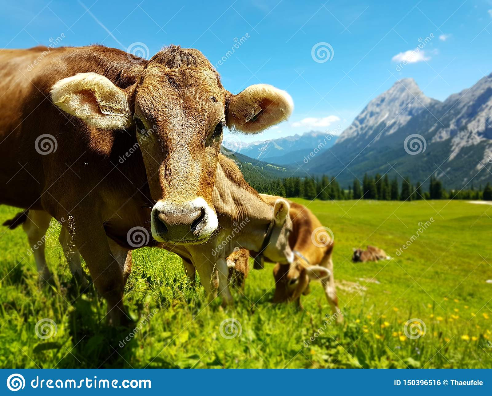 Brown cow grazing on meadow in mountains. Cattle on a pasture