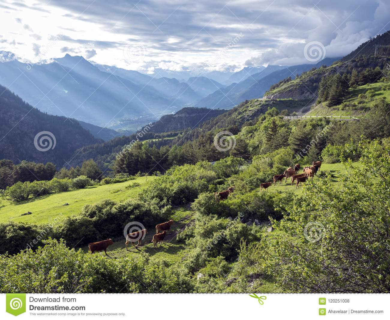 Brown cows in mountain meadow near vars in alps of haute provence