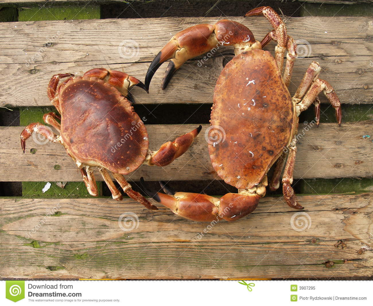 Brown Crabs Royalty Fr...