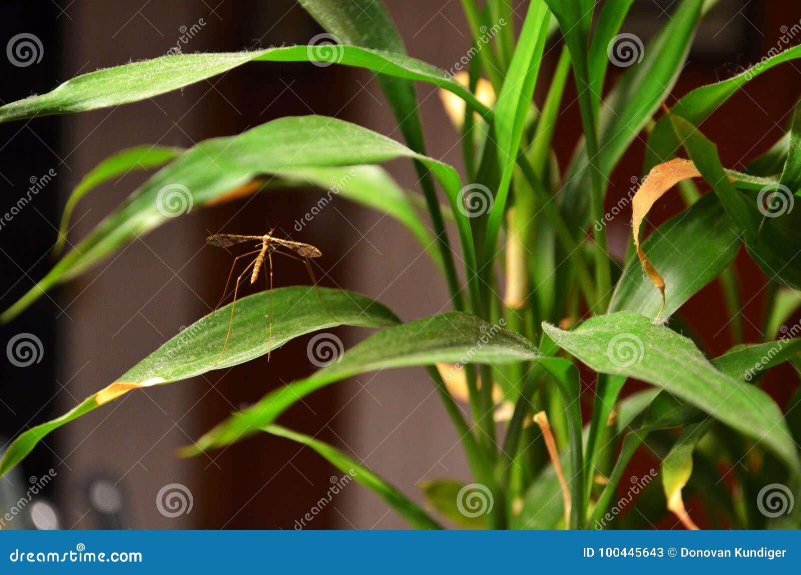 Brown Dźwigowa komarnica umieszczał na houseplant w spadku, północny zachód Missouri
