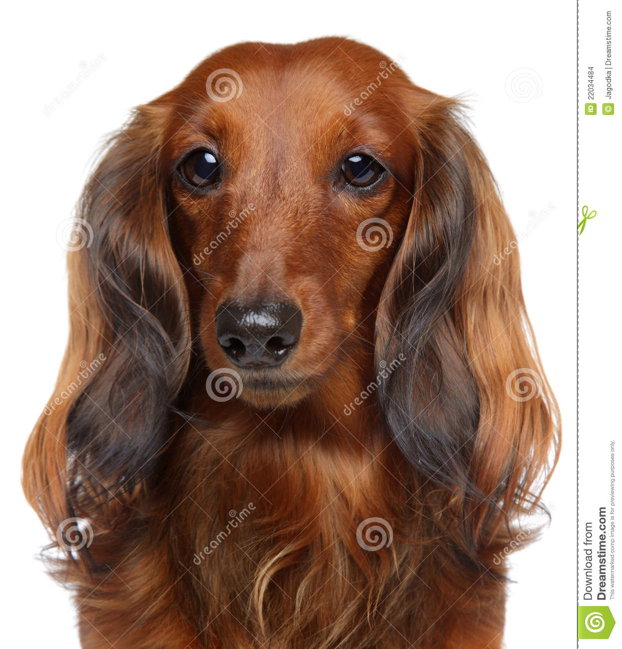 Brown Dachshund Puppy On A White Background Stock Photo ...
