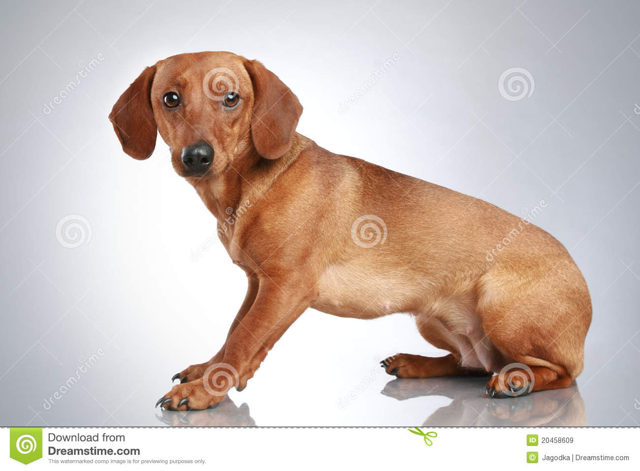 Brown Dachshund Sits On A Grey Background Royalty Free ...