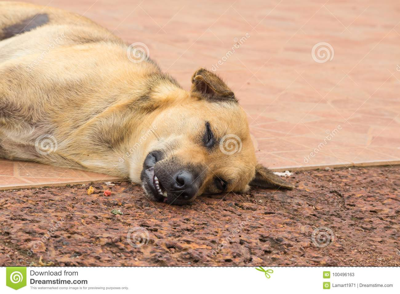 64d12a9f896 Brown Dog Sleep On The Ground Stock Image - Image of mammal