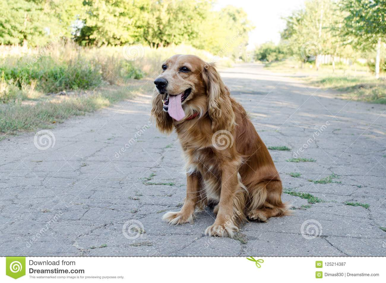 A brown dog spaniel sits on a road with an open mouth against a nature background