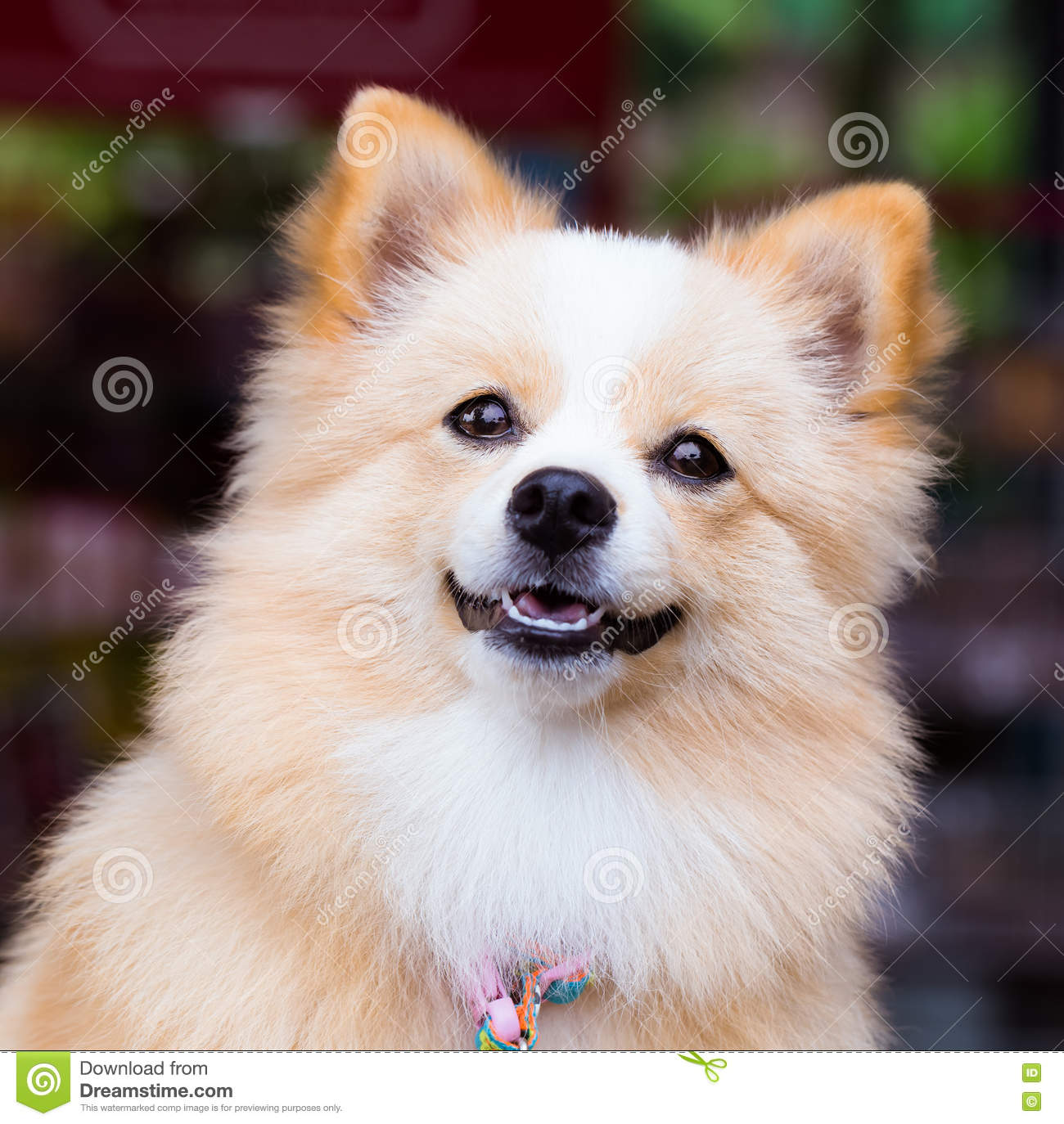 Brown Dog Standing Looking Forward Stock Photo Image Of Mammal