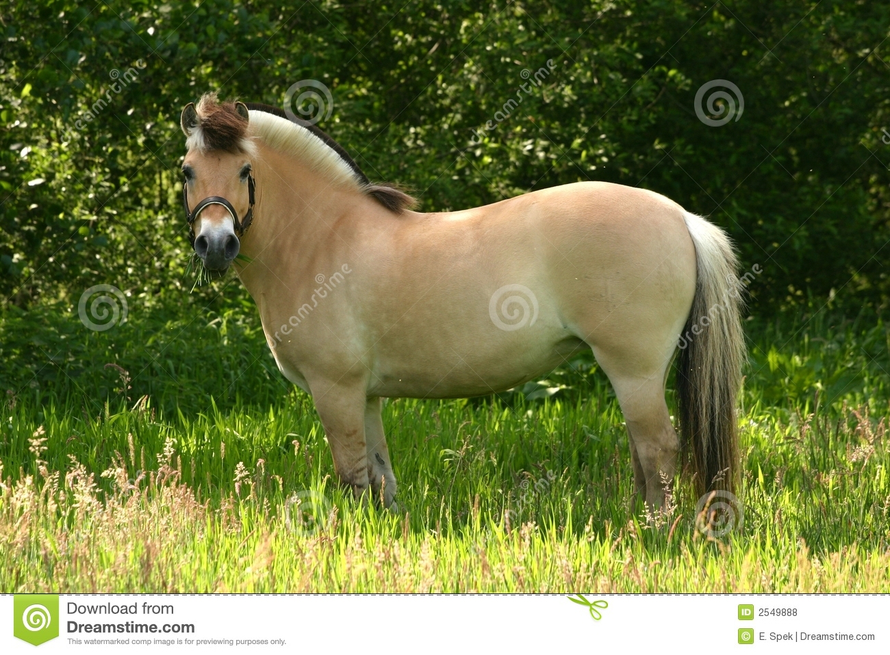 Brown Dun Fjord Pony Stock Photo Image Of Friend Scenery